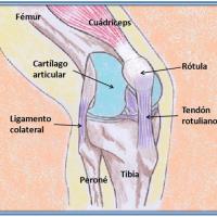 Rodilla: anatomía y exploración